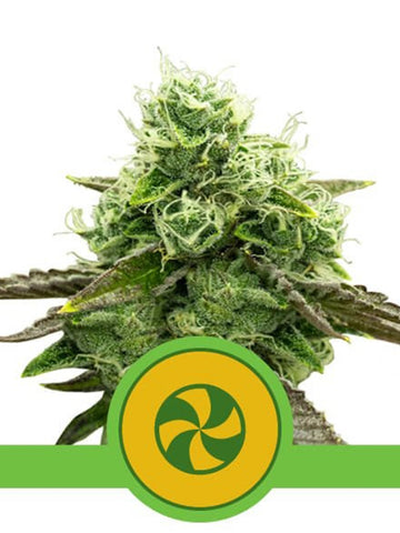 Sweet ZZ Auto Feminised Seeds