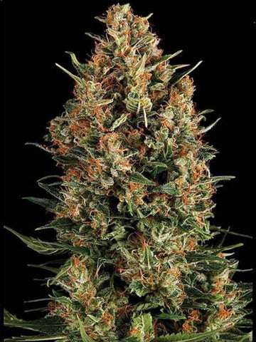 Wembley Auto Feminised Seeds