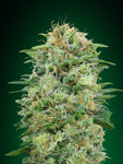 White Widow CBD Feminised Seeds - Aceitronics