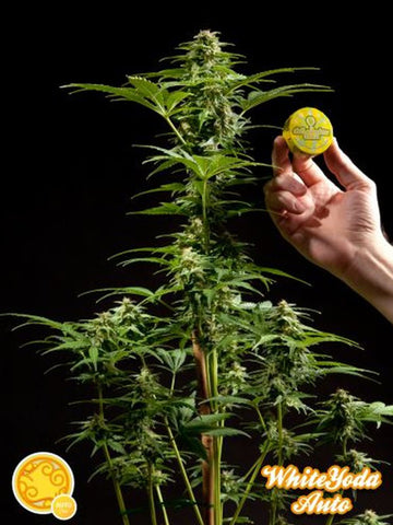 White Yoda Auto Feminised Seeds - Aceitronics