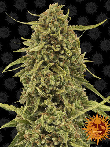 Widow Remedy Regular Seeds - 10 - Aceitronics
