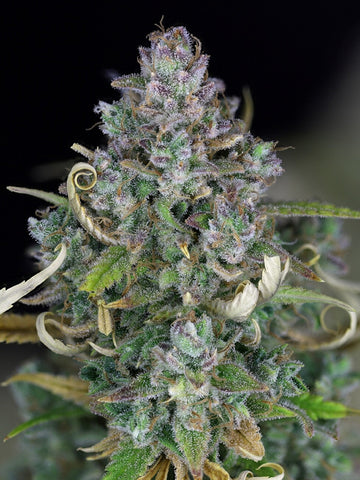 Zkittlez Auto Feminised Seeds