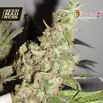 Afghan Cow Feminised Seeds - Aceitronics