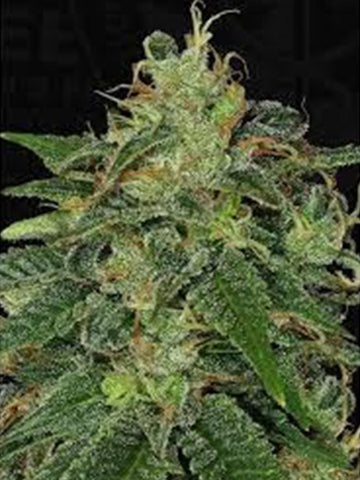 Strawberry Glue Feminised Seeds