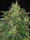 Black Zombie Feminised Seeds