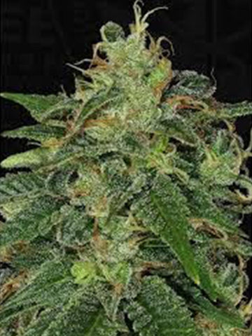 BC God Bud Feminised Seeds