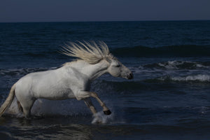 This photograph was taken in the picturesque Camargue region of southern France, the beautiful and stoic Camarguais horses often roam along the marshes of the wild terrain of the Mediterranean, where the mighty Rhone empties its water. This wild Camarguais horse frolics in the water, his energy amplified with the motion of his long vertical pointed mane.