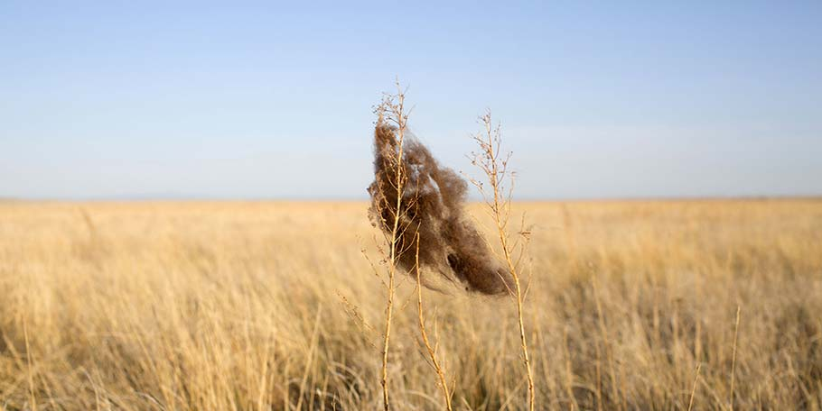 Buffalo fur tuft in prairie grass