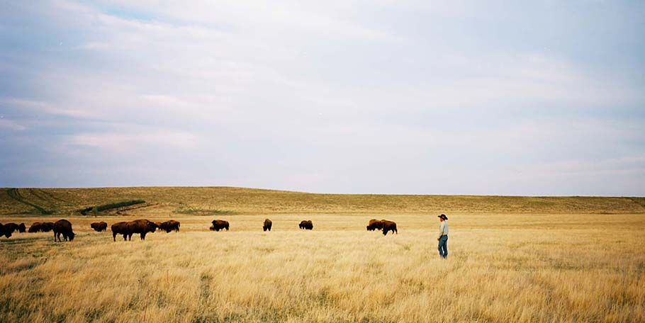 Buffalo herd in prairie grass
