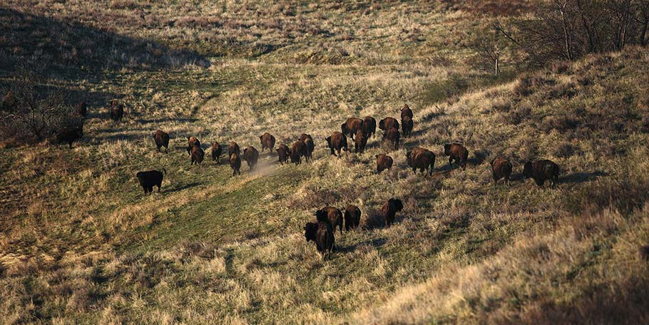 Buffalo herd on ranch