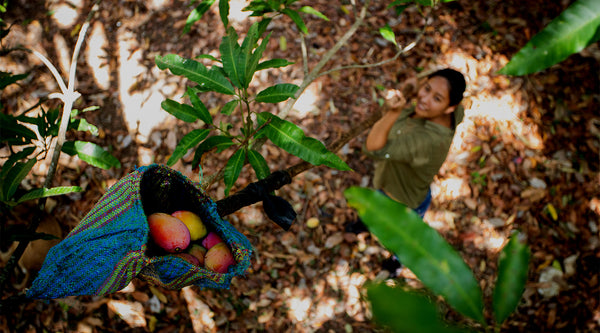 A mango farmer reaches up into the trees with a patterned cloth basket attached to along handled pole