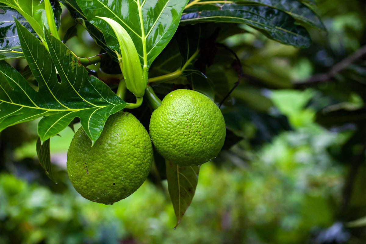 Green, immature breadfruits growing on a tree with large, dark green, waxy leaves