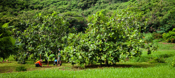 Farmers planting banana and breadfruit trees in an agroforest in Kaua'i