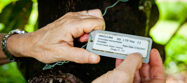 Close shot of hands holding a collection tag for a breadfruit tree
