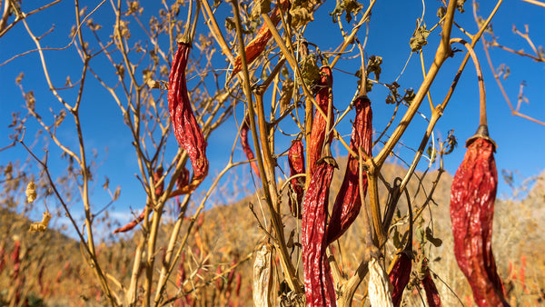 Close image of chiles drying on the vine