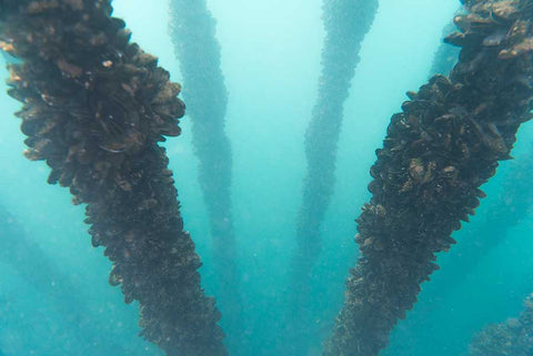 Columns of mussels descend underwater