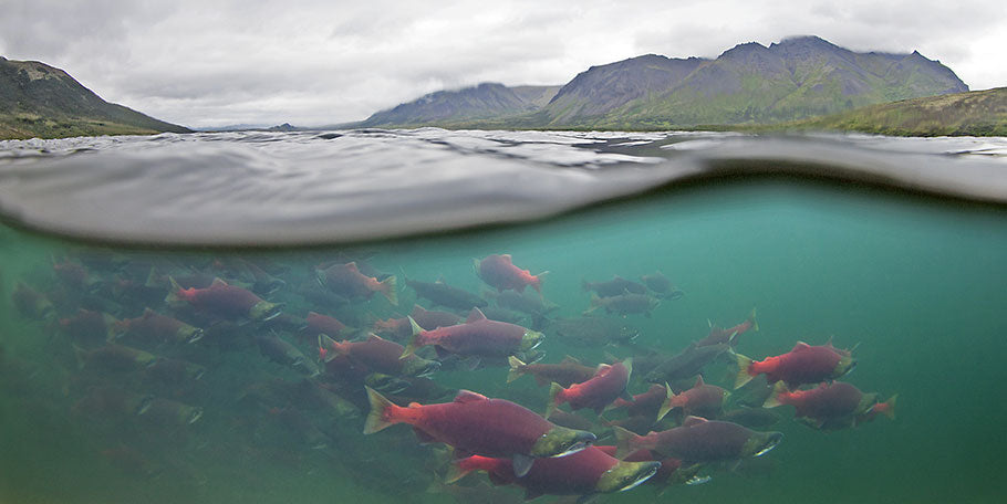 Underwater shot of salmon swimming
