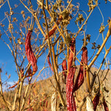 Aji Criollo chiles drying on the vine, against a deep blue sky