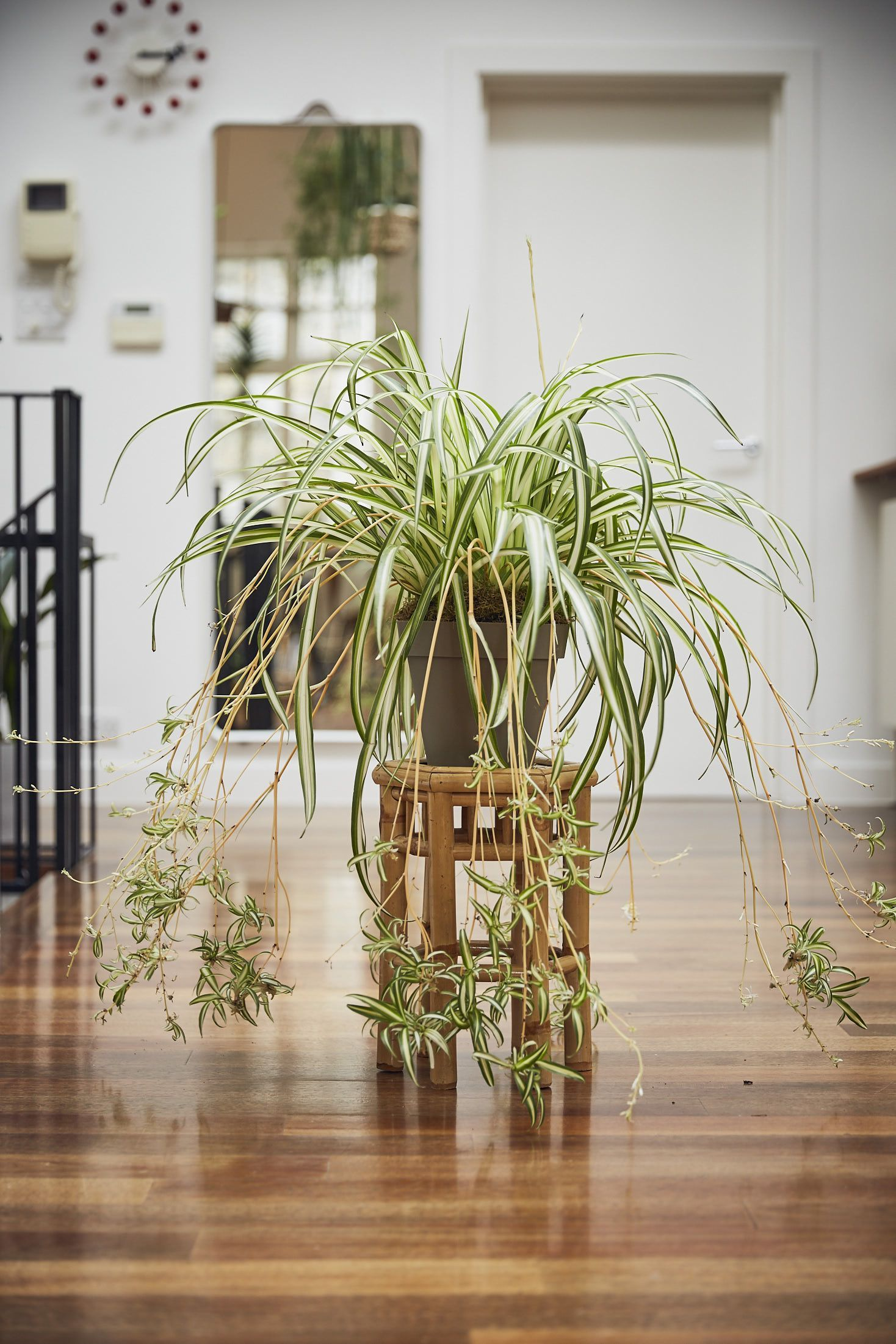 Spider Plant - Image Credit , HouseBeautiful
