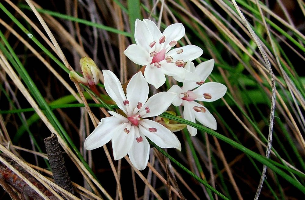 Milkmaids, Image Credit - Victorian Native Seed
