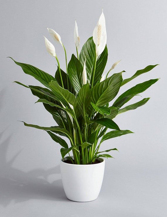 Peace Lily - Image Credit, PrettyInGreenPlants