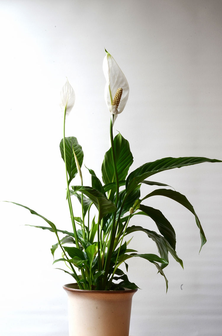 Peace lily , Image Credit - Epic Gardening