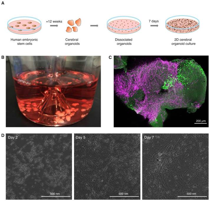 FACS-mediated isolation of neuronal cell populations from virus infected human embryonic stem cell derived cerebral organoid cultures