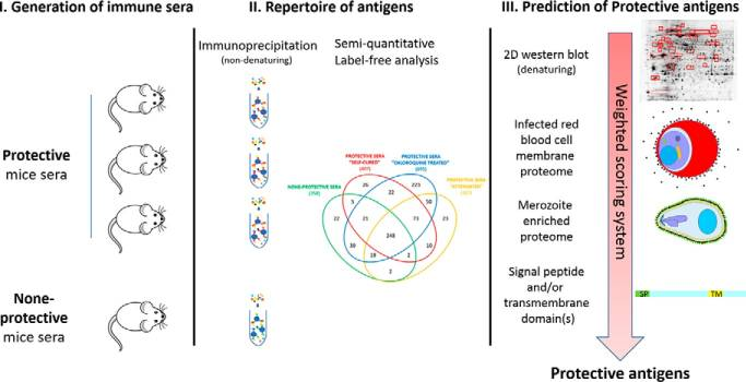 Immunomic Identification of Malaria Antigens Associated With Protection in Mice*