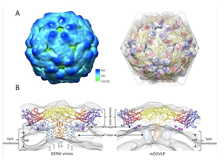Epitope resurfacing on dengue virus-like particle vaccine preparation to induce broad neutralizing antibody