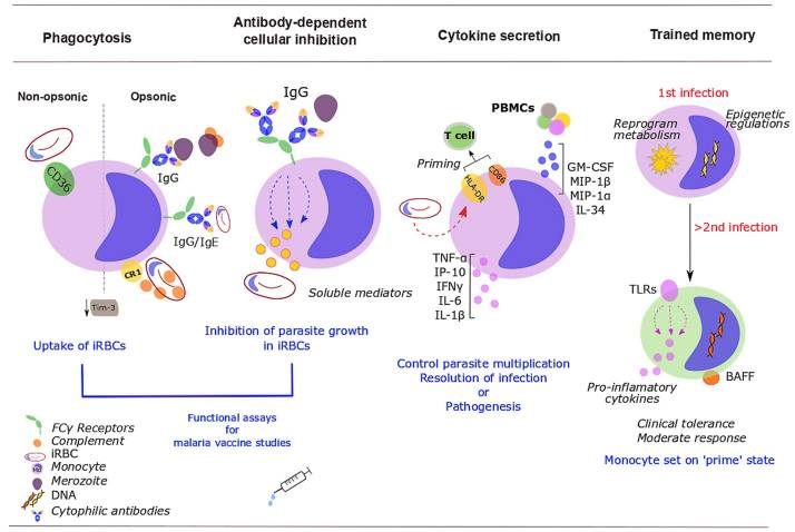 The Rough Guide to Monocytes in Malaria Infection