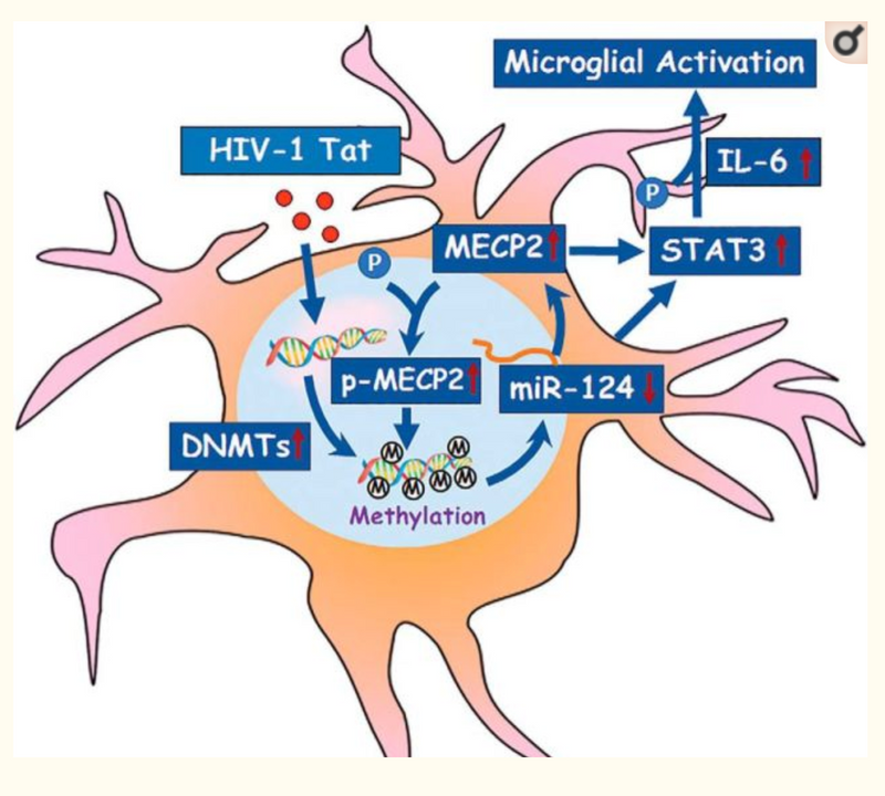 Epigenetic Promoter DNA Methylation of miR-124 Promotes HIV-1 Tat-Mediated Microglial Activation via MECP2-STAT3 Axis.