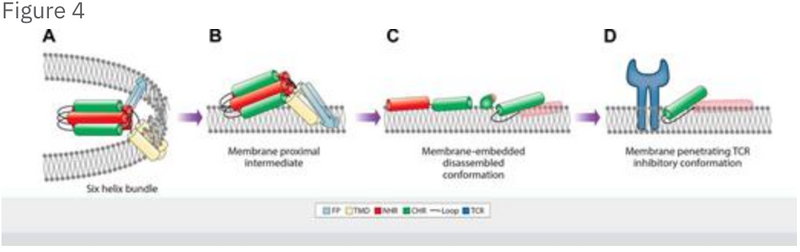 The HIV gp41 pocket binding domain enables C-terminal heptad repeat transition from mediating membrane fusion to immune modulation