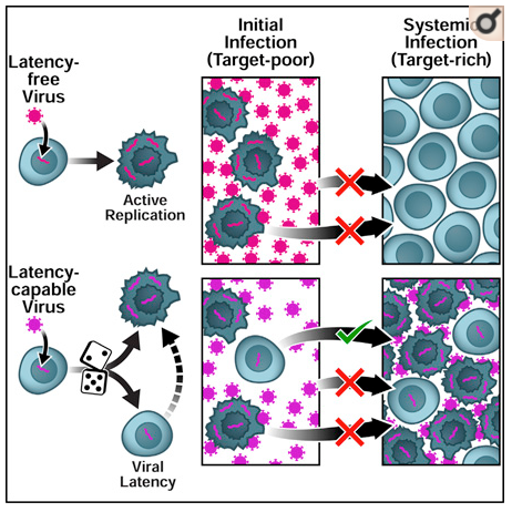 An evolutionary role for HIV latency in enhancing viral transmission.