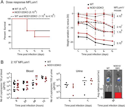 LipL21 lipoprotein binding to peptidoglycan enables Leptospira interrogans to escape NOD1 and NOD2 recognition