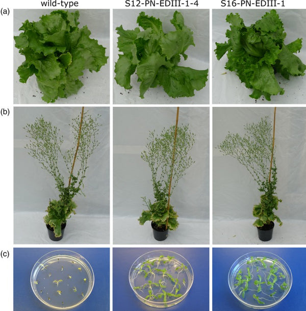 Production of tetravalent dengue virus envelope protein domain III based antigens in lettuce chloroplasts and immunologic analysis for future oral vaccine development