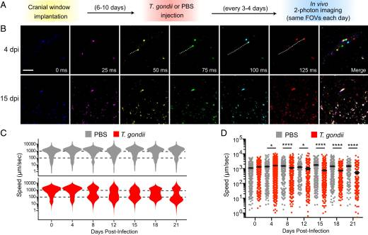 Imaging the dynamic recruitment of monocytes to the blood–brain barrier and specific brain regions during Toxoplasma gondii infection