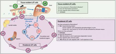 Gamma/Delta T Cells and Their Role in Protection Against Malaria