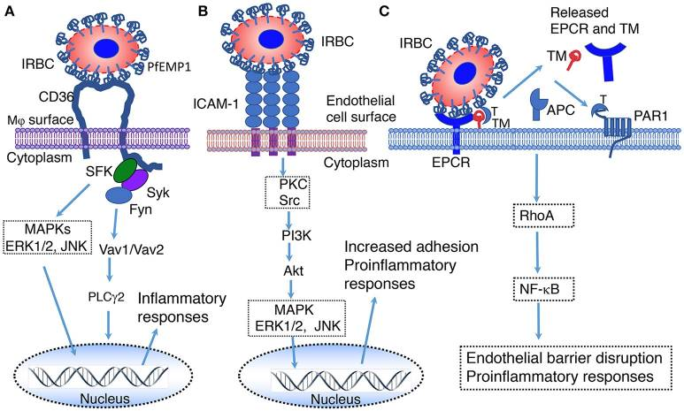 Parasite Recognition and Signaling Mechanisms in Innate Immune Responses to Malaria