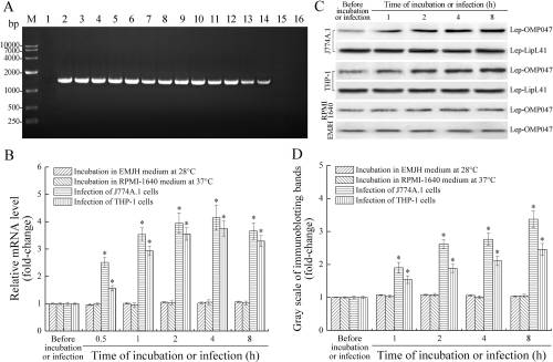 A novel Fas-binding outer membrane protein and lipopolysaccharide of Leptospira interrogans induce macrophage apoptosis through the Fas/FasL-caspase-8/-3 pathway