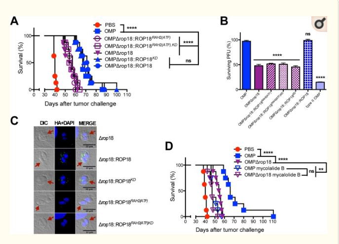 Secretion of Rhoptry and Dense Granule Effector Proteins by Nonreplicating Toxoplasma gondii Uracil Auxotrophs Controls the Development of Antitumor Immunity