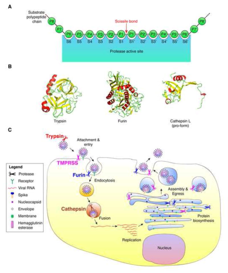 Host cell proteases: Critical determinants of coronavirus tropism and pathogenesis.