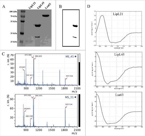 Leptospira interrogans outer membrane protein LipL21 is a potent inhibitor of neutrophil myeloperoxidase