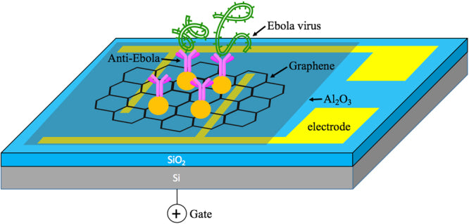 Field-Effect Transistor Biosensor for Rapid Detection of Ebola Antigen