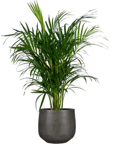 Tropical Areca Palm | Plantsome - delivered right to your doorstep