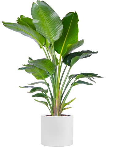 Bird of Paradise in white Franco pot