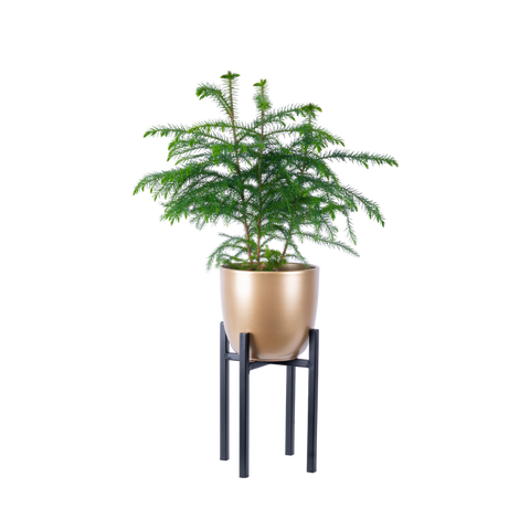 Norfolk Island Pine in decorative gold holiday pot.