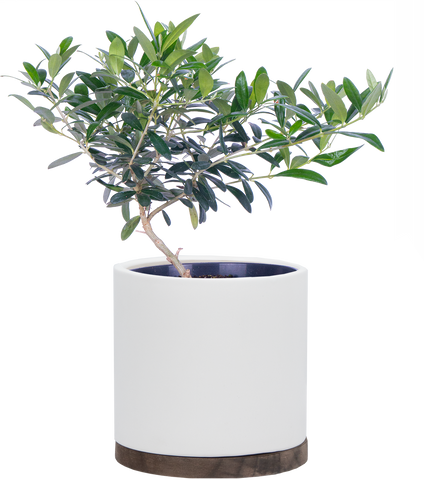 Olivia | Plantsome Olive Tree | Houseplants Delivered Straight to your Doorstep