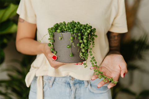 String of pearls - potted in Plantsome's organic succulent mix.