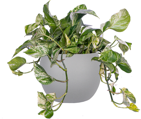 Trailing Marble Queen Pothos