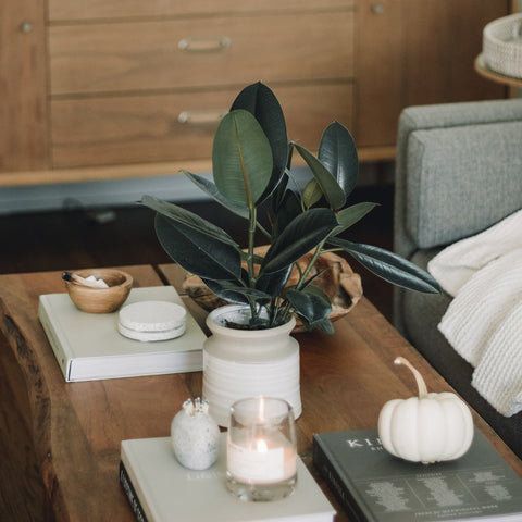 A Rubber Tree nestled inside on a coffee table in fall.
